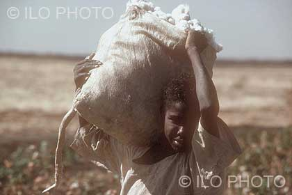 Child working in a cotton field during the harvest.