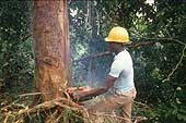 Lumberjack cutting down wood for the lumber industry, Sierra Leone.