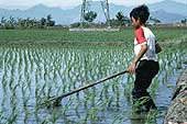 Young worker in a rice plantation