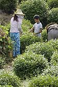 Women and child working in the fields for the harvest. Tea Plantation. Longjing Village. China. 