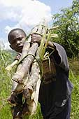 Harvesting on a sugar cane plantation. Rwanda.